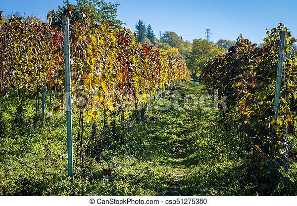 autumn vineyard - csp51275380