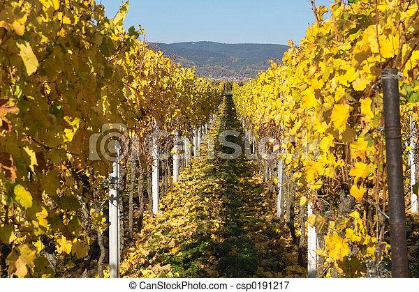 Autumn wineyards - csp0191217
