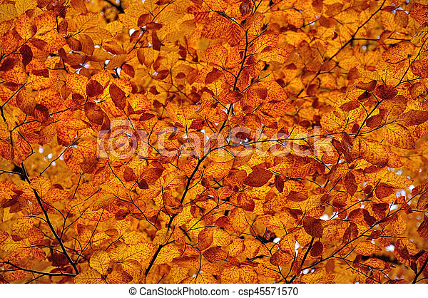 Autumnal colored leaves, maple leaf litter - csp45571570