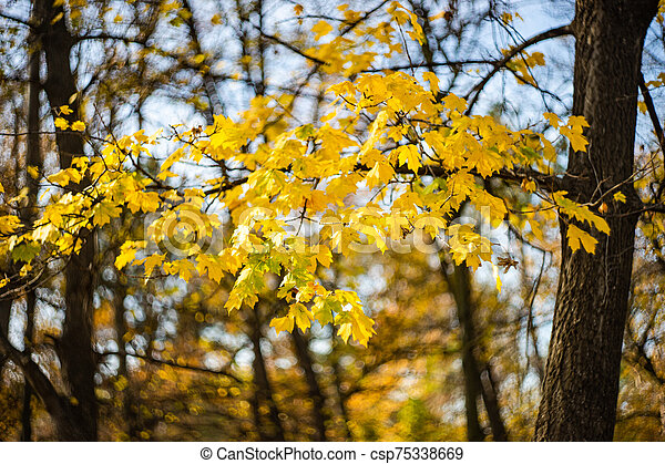 Autumnal nature concept with yellow acer leaves - csp75338669