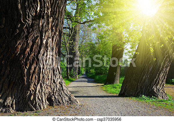 Avenue of old trees - csp37035956
