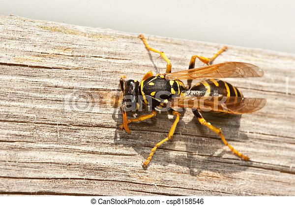 avispa, chaqueta amarilla, madera, masca, pulpa - csp8158546