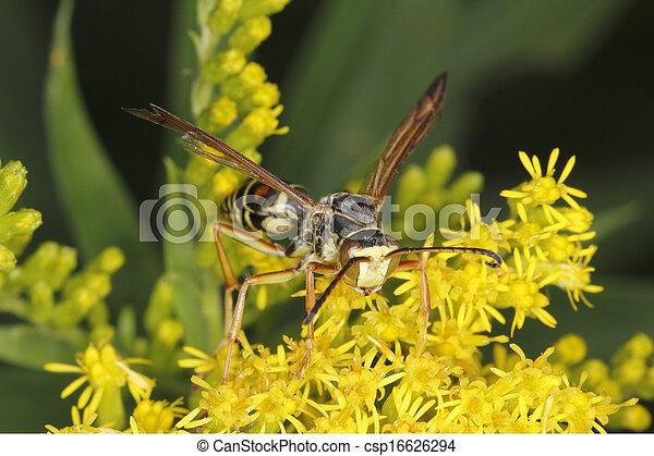 El primer plano de una avispa en Goldenrod - csp16626294