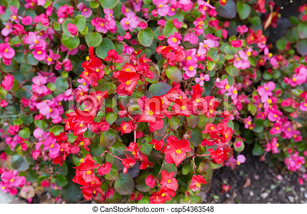 Colorful wax begonia flower in pink red with yellow stamen ax begonia flower in pink red with yellow stamen blossoming in garden csp54363548 mightylinksfo