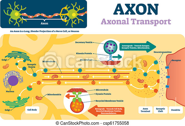Axon vector illustration. Labeled diagram with explanation and structure. - csp61755058