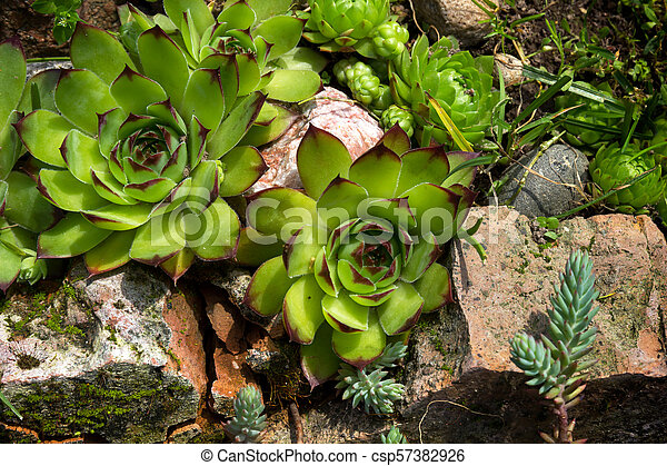 Aye-green or houseleek (Sempervivum) in a rock garden. on poppy plant, yarrow plant, hyssop plant, holly plant, hellebore plant, thyme plant, goat's beard plant, catmint plant, scilla violacea plant, bottling plant, lemon balm plant, lemon verbena plant, lady's mantle plant, hops plant, perennial plant, sage plant, birch plant, daffodil plant, gold flower plant,