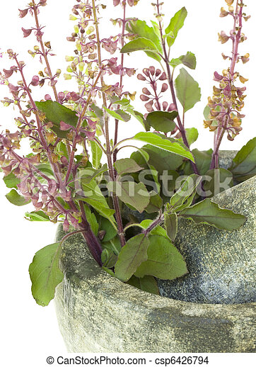 Ayurvedic Remedy Holy Basil or Tulsi in a Stone Pestle and Mortar - csp6426794