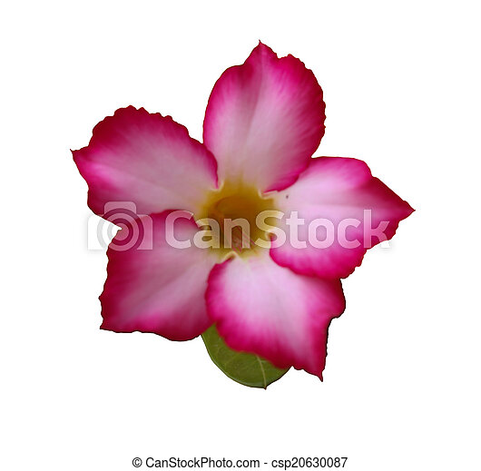 Azalea flower on the white background pictures search photographs azalea flower on the white background csp20630087 mightylinksfo Images