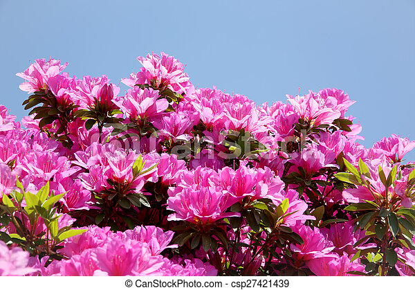 azalea flowers - csp27421439