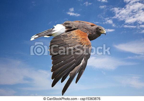 azul, águia, voando, céu, falcão, harrier, ou - csp15363876