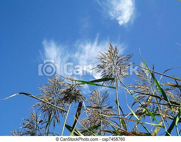 Reeds con el cielo azul 1 - csp7458760