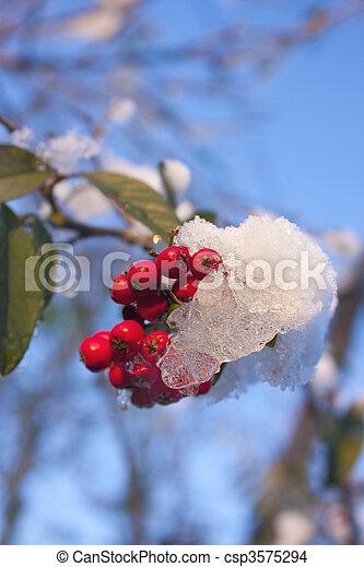 Snowy Hollyly con el cielo azul - csp3575294