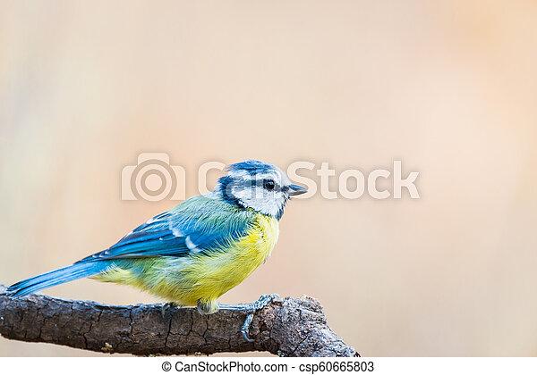 Teta azul o herrerillo comun posado en una rama, Cyanistes Carleus - csp60665803