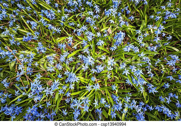 azul, flores mola, glory-of-the-snow - csp13940994