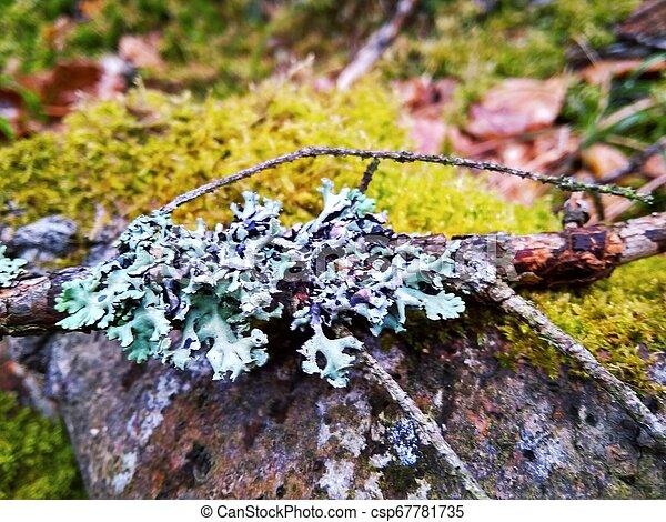 Sucursal de Spruce con liquen azul en musgo verde cerca - csp67781735