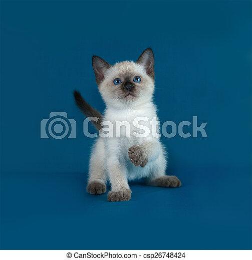 azul, tailandés, gatito, blanco, sentado - csp26748424