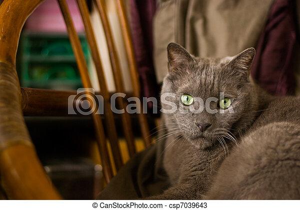 azul, viejo, sentarse, gato, abajo, ruso, silla - csp7039643