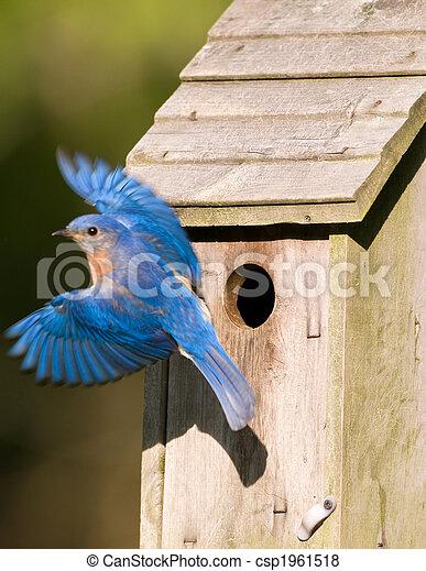 Bluebird dejando el pajar - csp1961518