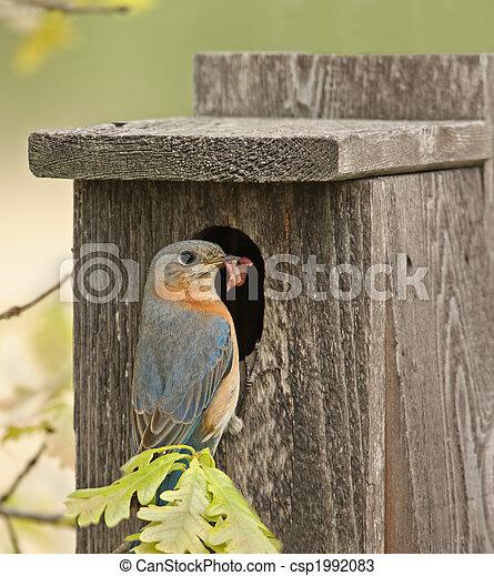 Bluebird oriental - csp1992083