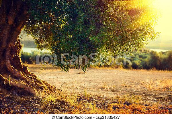 bäume., mittelmeer, bäume, plantage, olive, sunset. - csp31835427