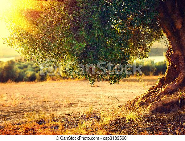 Olivenbäume. Olivenplantagen bei Sonnenuntergang. Mittelmeer - csp31835601