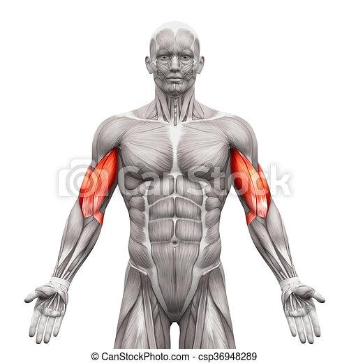 Bíceps, músculos, -, aislado, ilustración, anatomía, blanco, 3d.