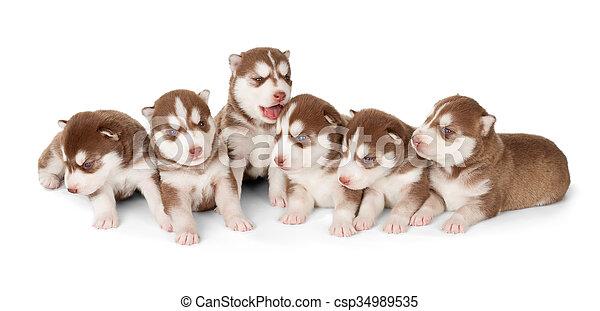 böttcher, sibirisch, abfall, heiser, hundebabys, rotes  - csp34989535