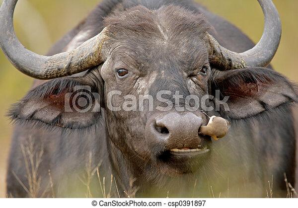 búfalo, africano - csp0391897
