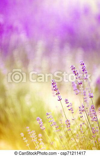 büsche, closeup, lavendel, sunset. - csp71211417