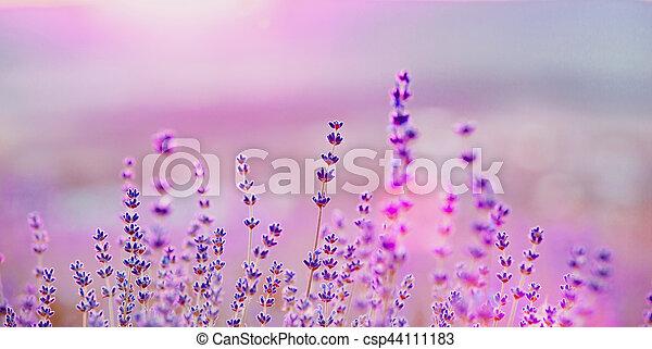 büsche, closeup, lavendel, sunset. - csp44111183
