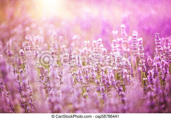 büsche, lavendel, closeup. - csp58786441