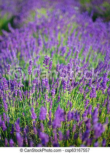 Lavender Büsche schließen sich bei Sonnenuntergang. Sonnenuntergänge leuchten über lila Blumen von Lavendel. - csp63167557