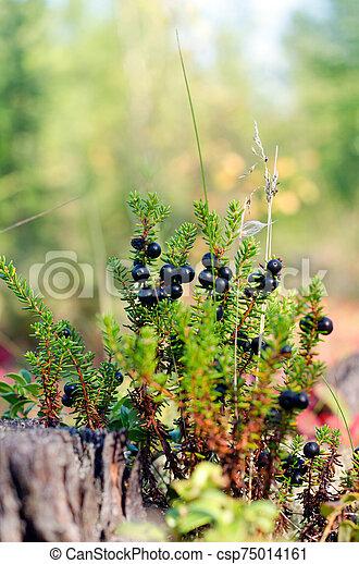 büsche, nordisch, beeren, yakutia, blüte, forest., taiga, stumpf, crowberry - csp75014161