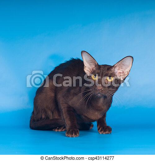 Błękitny Kot Orientalny Tło Portret Leżący Błękitne Tło Kot