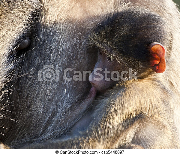 Baboon baby drinking from his mother in early morning - csp5448097