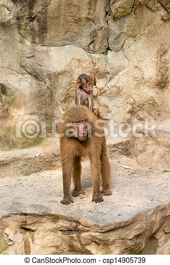 Baboon baby riding on it's mother's back - csp14905739