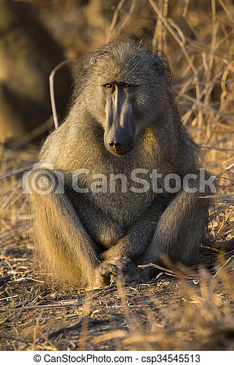Baboon family play and having fun in nature - csp34545513