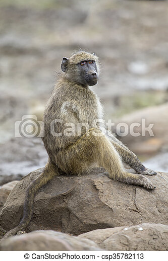 Baboon family play and having fun in nature - csp35782113