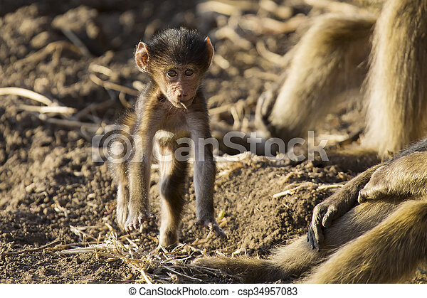 Baboon family play and having fun in nature - csp34957083