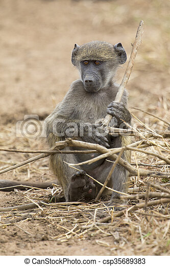Baboon family play and having fun in nature - csp35689383
