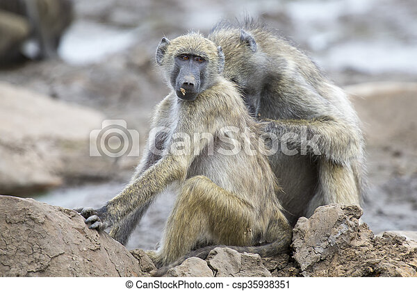 Baboon family play and having fun in nature - csp35938351