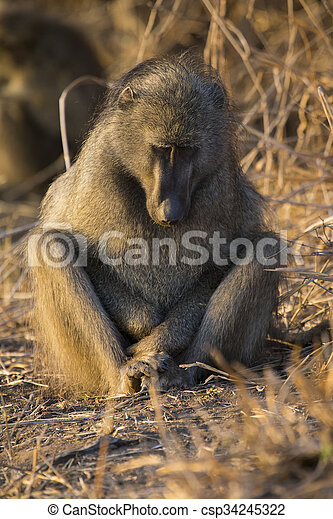 Baboon family play and having fun in nature - csp34245322