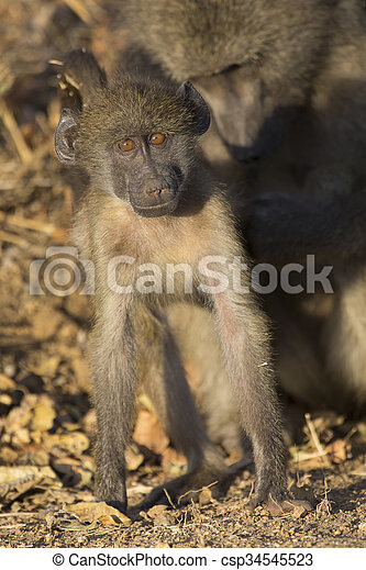 Baboon family play and having fun in nature - csp34545523