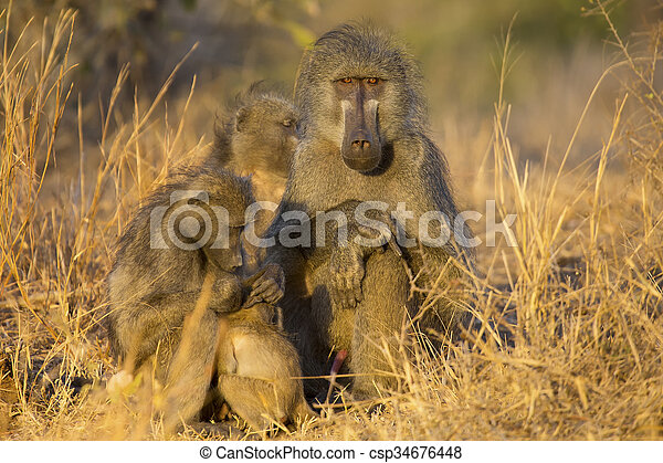 Baboon family play and having fun in nature - csp34676448