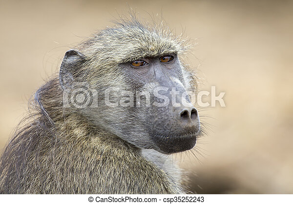 Baboon family play and having fun in nature - csp35252243