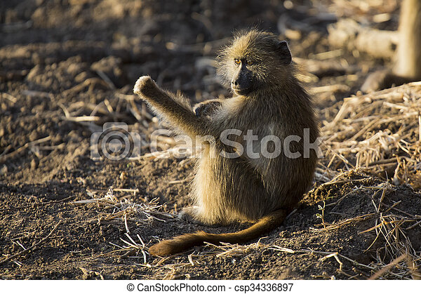 Baboon family play and having fun in nature - csp34336897