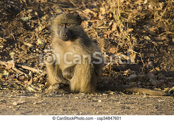 Baboon family play and having fun in nature - csp34847601