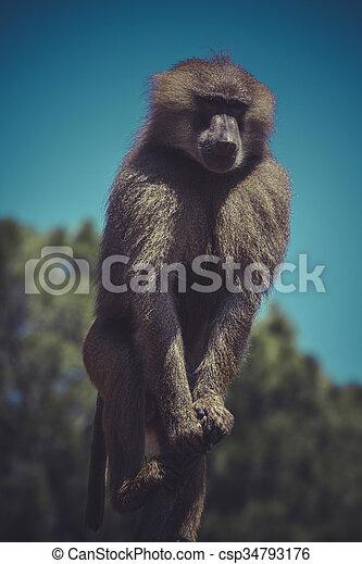 Baboon (Papio hamadryas ursinus) in a tree - csp34793176