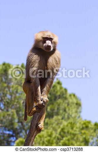 Baboon (Papio hamadryas ursinus) in a tree - csp3713288