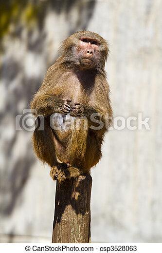 Baboon (Papio hamadryas ursinus) in a tree - csp3528063